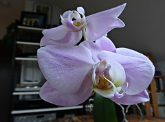 Giant Orchid (knightbefore_99) Tags: giant purple orchid flower fleur flor awesome tropical cool wonderful art petal pistil leaf grow indoor fantastic great