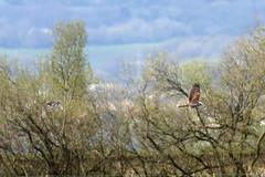 Hot Pursuit (Roy Lowry) Tags: lapwing vanellusvanellus marshharrier circusaeruginosus burtonmerewetlands