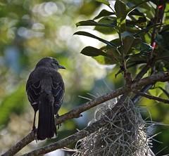 Another Shady Character (ACEZandEIGHTZ) Tags: nikon d3200 mockingbird avian nature tree leaves birdwatcher backyard mimus polyglottos passerine florida statebird ngc npc sunrays5