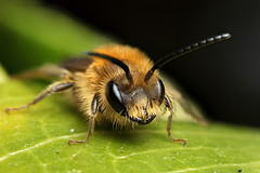 A cute male miner bee #2 (Lord V) Tags: macro bug insect bee minerbee andrena