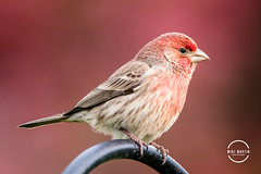 Rose Finch (Mike M Martin) Tags: backyard birds feeder tree crabapple bird finch purplefinch rosefinch canon 80d sigma 150600 sigma150600