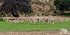 Springbocks on the run (fascinationwildlife) Tags: animal mammal prey springbock summer run field desert herd wild wildlife nature natur national park kgalagadi kalahari transfrontier ktp south africa südafrika safari