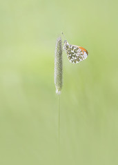 Elegance (Neil Burnell) Tags: orange tip butterfly staverton woodland garlic sigma 150mm 28 neil burnell wwwneilburnellcom ngc macro insect flower grassland plant