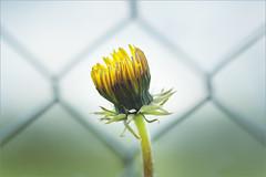 Dandelion. On the bright side of life. HFF! (Gudzwi) Tags: hff zaun happyfencefriday fence friday fencefriday macro flower dandelion löwenzahn yellow gelb closeup sportplatz fusball footballfield fencedfriday