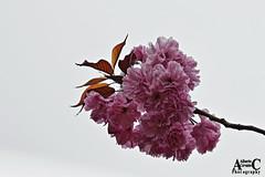 FLOR DE CEREZO ROSADO. PINK CHERRY BLOSSOM. SAKURA. NEW YORK CITY. (ALBERTO CERVANTES PHOTOGRAPHY) Tags: flor de cerezo pink cherry blossom planta flower plant sakura