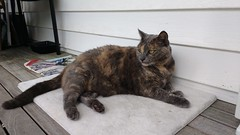 Josie feeling the humidity. (~ MCJ) Tags: josie cat rescuecat greybluecreamtortoiseshell cardiomyopathy 10yo