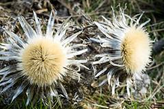 Eguzkiloreak (www.eidernet.com/eiderphoto) Tags: ilce7 sonya7 fd20028macro eguzkilore flower flor
