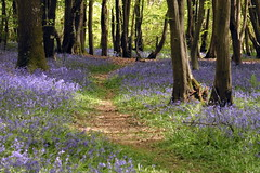 The Path Through The Woods (Alan1954) Tags: warnham nature walking woods bluebells horsham sussex 2017 platinumpeaceaward