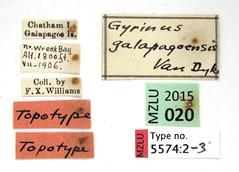 Gyrinus galapagoensis van Dyke, 1953 (Biological Museum, Lund University: Entomology) Tags: coleoptera gyrinidae gyrinus galapagoensis mzlutype05574