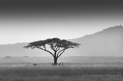 Lone Acacia, Serengeti National Park, Tanzania (Poulomee Basu) Tags: nikonlovers lightroom nikon nikond90 wildlifephotography wildlife wilderness wild savannah tanzania serengeti safarilovers safari tranquil beauty silhouette acacia africa