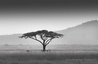 Lone Acacia, Serengeti National Park, Tanzania