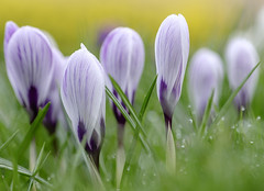 What's the plural of crocus? Crocuses, croci, croquettes, crocusi? (Wouter de Bruijn) Tags: fujifilm xt1 fujinonxf90mmf2rlmwr crocus croci crocuses flower flowers nature macro bokeh spring grass rain water drop drops dripping depthoffield middelburg walcheren zeeland nederland netherlands holland dutch