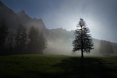 tree [triː] s (Toni_V) Tags: m2403354 rangefinder digitalrangefinder messsucher leicam leica mp typ240 type240 28mm elmaritm12828asph hiking wanderung escursione randonnée stluzisteig graubünden grisons grischun fog nebel mist tree sun backlight switzerland schweiz suisse svizzera svizra europe frühling spring fläschguscharegitzerspitzsargans nature landscape ©toniv 2017 170325
