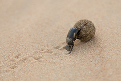 Dung Beetle (D_Snapper) Tags: uae desert sand offroad beetle dung dungbeetle roll roller ball track push insect canon eos 5div 24105l ef24105l alqudradesert