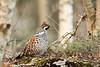 Tetrastes bonasia (Dreemeli) Tags: hazelgrouse tetrastesbonasia bird linnut luonto nature pyy d7200
