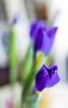 Signs of Love (Z!SL) Tags: flowers flora flower violet purple bokeh bokehwhores dof depthoffield sel24f18z sel24f18 sel24f18za sel2418z sonyphotographing sonnarte1824 sonnar2418za sony sonnar sonyflickraward sonynex emount minoltaemount mirrorless bokehlicious zeiss carlzeiss indoor nex5r nex5 nex spring heartshape nature bouquet
