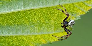 Male crab spider