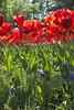 _DSC0712 (Riccardo Q.) Tags: parcosegurtàtulipani places parco altreparolechiave fiori tulipani segurtà