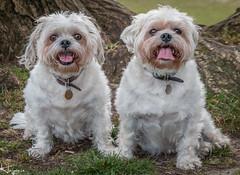 Waiting Patiently (Wayne Cappleman (Haywain Photography)) Tags: wayne cappleman haywain photography farnborough hampshire king george v park pet portrait dog
