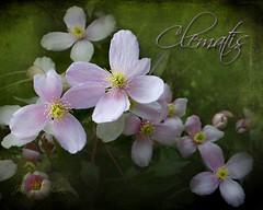Clematis ( Away until Sunday ) (Jean Turner Cain) Tags: flower flora floral flowers fleur texture textured textures clematis jean turner cain