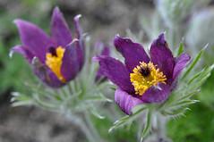 pasque-flower (rafasmm) Tags: lodz łódź botanical garden poland polska park plant nature botanic flowers flower color