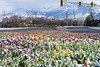 Rainbow of Snow Covered Tulips (aaronrhawkins) Tags: tulips snow cold entrance road traffic light byu brighamyounguniversity colors spring weather plants flowers median highway college campus university quiet aaronhawkins provo utah