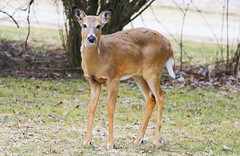 white-tailed deer button buck at Lake Meyer Park IA 854A4015 (lreis_naturalist) Tags: whitetailed deer button buck lake meyer park winneshiek county iowa larry reis