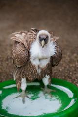 Gänsegeier (tekino.) Tags: vulture geier gänsegeier riegersburg greifvogelschau