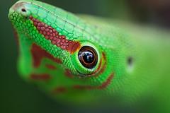 Schau mir in die Augen Kleines ... (thunderbird-72) Tags: makro grün macro madagaskartaggeckophelsumamadagascariensis gecko nikond7100 schuppen green auge sigmaex28105dgmacronafdoshsm