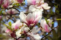 Magnolia (M'heer) (ToJoLa) Tags: canon canoneos60d voorjaar lente spring zuidlimburg limburg zon wandeling ontrack kleuren landschap landscape uitzicht bloem bloesem blossom magnolia