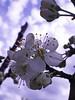 Greengage Blossom (amandabhslater) Tags: flowers garden silkweaversway blossom gage greengage