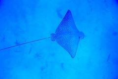 Eagle Ray (Landersz) Tags: philippines filippine coron palawan club paradise snorkeling turtle shark clownfish nemo dugong landersz canon 5dmk3 nimar gopro hero5