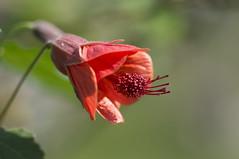 Schönmalve, Abutilon (milance1965) Tags: sony a55 blume schönmalve abutilon rot red flower pflanze garten macro