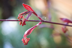 Knospen am Fächerahorn (blumenbiene) Tags: fächerahorn acer palmatum blätter leaves japanese maple smooth tree baum bäumchen little garten garden flowers blüten blüte flower