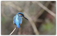 Martin-pêcheur (guiguid45) Tags: nature sauvage oiseaux bird loiret d810 nikon 300mmf28 martinpêcheur alcedoatthis alcédinidés coraciiformes commonkingfisher affût