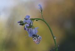 oranjetipje (Anthocharis cardamines) (peter nijland) Tags: twente dinkelland almelonordhornkanaal vlinders buterfly nature natuur dauw dew tamron 90mm denekamp