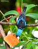 Saíra-azul-turquesa (Dacnis cayana) - Blue Dacnis (Roberto Harrop) Tags: saíraazulturquesa dacniscayana bluedacnis aves birds pássaros aldeia paudalho robertoharrop