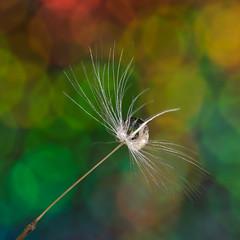 It's That Time of Year! (g3az66) Tags: itsthattimeofyear dandelion flickr strobist bokeh bokehlicious yn560iv yn560tx holographic