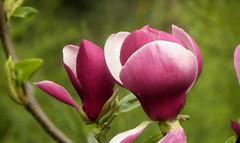 Magnolia (Emma2922) Tags: fleur magnolia flower plante
