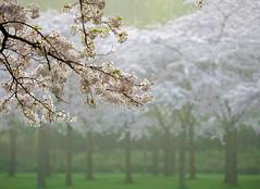 20170401-0748-54 (Don Oppedijk) Tags: amsterdamsebos cherryblossom cffaa