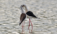 Pair of Black-winged Stilts (photogramps) Tags: blackwinged stilts waders waterbirds waterfowl wwt rspb