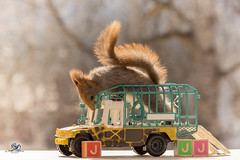 the j from jeeps (Geert Weggen) Tags: red nature animal squirrel rodent mammal cute look closeup stand funny bright sun backlight staring watching hold glimpse peek up tail message communication letter woodenframe capitals numbers learning school child education learn baby word alphabet teacher ball book jeep happy geert weggen sweden jämtland ragunda bispgården