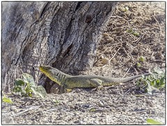LAGARTO OCELADO (BLAMANTI) Tags: lagartos lagarto ocelado prehistorico verde reptiles