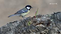 Parus major #1 (José M. F. Almeida) Tags: birds portugal chapimreal great tit parus major
