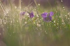Veilchenduft (g e g e n l i c h t) Tags: bokeh dof tropfen regen wasser blüte blume pflanze gras veilchen viola odorata violaceae mft depthoffield lumixgx7 summicronr2050mm gegenlicht