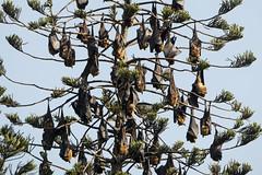 fruit bat-1 (S. Nysteen) Tags: srilanka fruitbat kandy centralprovince lk flyingfox