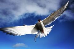 Arctic swallow Norge (antoniosanchezserrano) Tags: instagramapp square squareformat iphoneography uploaded:by=instagram lofi norge noruega norway bird nyalesun isla island ice could frio muchofrio