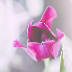 à haute voix (rockinmonique) Tags: flower bloom blossom petal tulip pink white highkey macro bokeh muttart moniquew canon canont6s tamron copyright2017moniquew