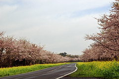 Road with Cherry Blossoms (Johnnie Shene Photography(Thanks, 2Million+ Views)) Tags: road path way cherryblossom cherrytree tree trees blossoming blossomed blossom spring day photography horizontal outdoor colourimage fragility freshness nopeople foregroundfocus adjustment wideangle pink jeju rural landscape scenic scenery local tranquility korea korean serenity travel destination landmark attraction trip journey beautiful wonder warm nature natural wild wildlife livingorganism canon eos600d rebelt3i kissx5 sigma 1770mm f284 dc macro lens 벚꽃 봄 봄꽃 길 풍경 제주도 제주