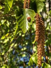 Birken (Blende2,8) Tags: stauseeglems schwabenland marienkäfer asiatischermarienkäfer